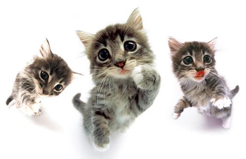 壁纸 动物 猫 猫咪 小猫 桌面 500_324
